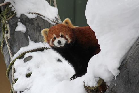 旭山レッサーパンダ-3
