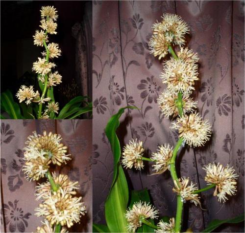 ドラセナ・マッサンゲアナ(幸福の木)の花