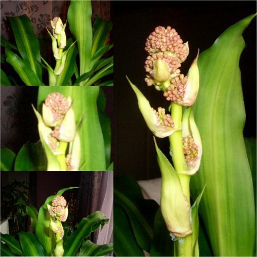 ドラセナ・マッサンゲアナ(幸福の木)の花の蕾