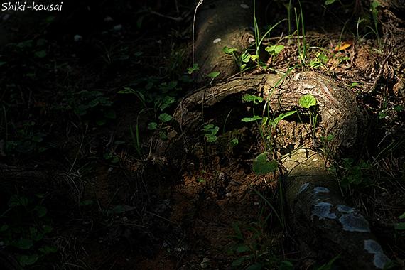 松の根っこ