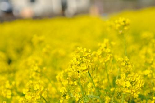 2012菜の花s