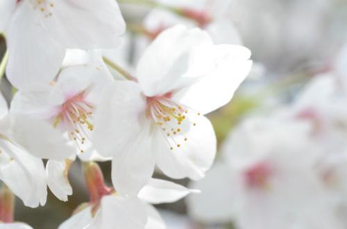 2012桜5s