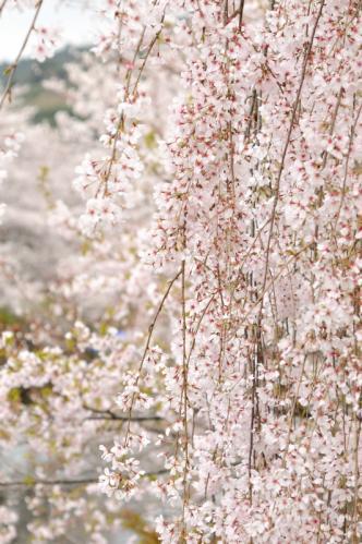 2012桜s