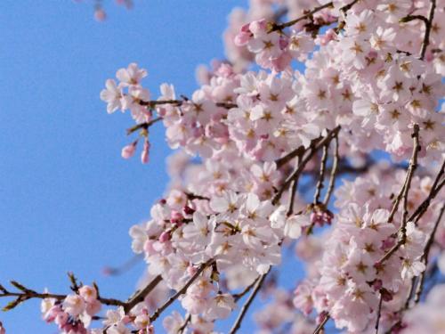 枝垂桜4s