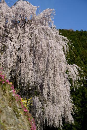 枝垂桜5s