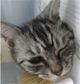 ネコの肛門の腫瘍1