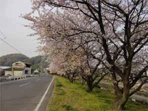 通勤途中の桜並木1