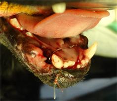 ネコの下顎の骨折3