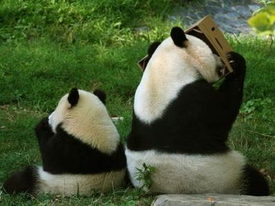 食事中のパンダの親子