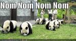 funny-pictures-pandas-eating-noms.jpg
