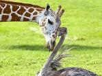 giraffe-and-an-ostrich.jpg