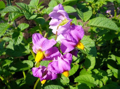 ジャガイモの花61