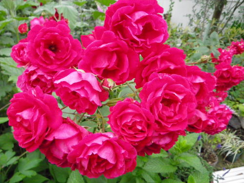 義母のバラ615