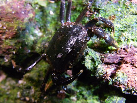 freshwater-crab.jpg