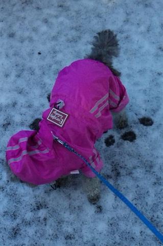 花ちゃん初の雪散歩