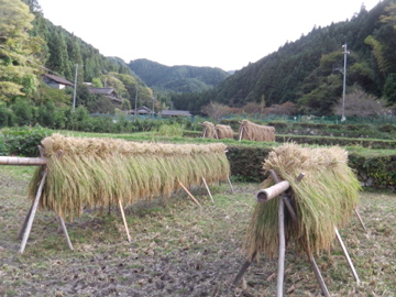 稲刈り最終3