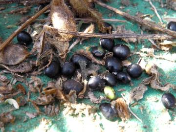 ちび黒大豆2