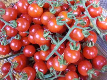 ワイルドトマト