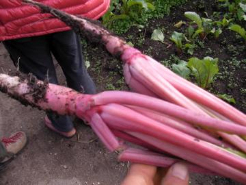 松阪赤菜3