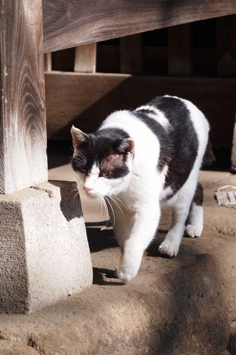 白山神社の主猫 (C)東京ノラ猫家猫カフェブログ