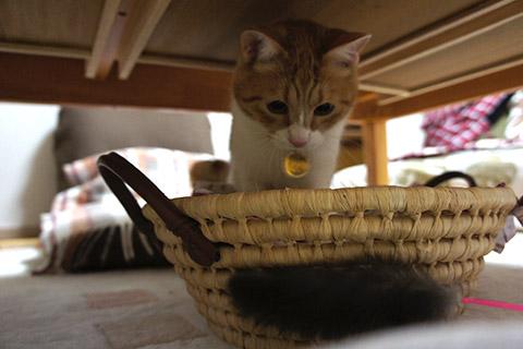 猫じゃらしと戯れるネコ1