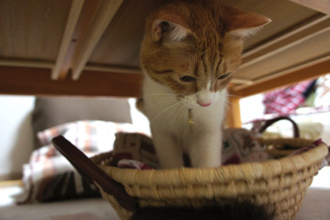 猫じゃらしと戯れるネコ2