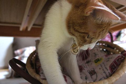 猫じゃらしと戯れるネコ3