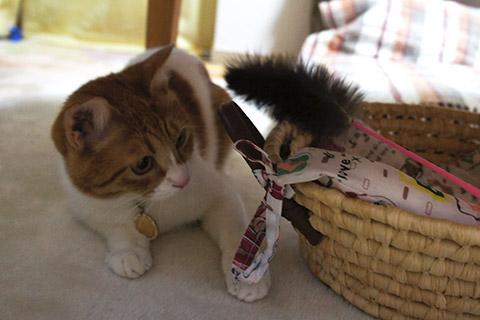 猫じゃらしと戯れるネコ4