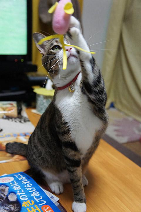 遊びに熱心な猫