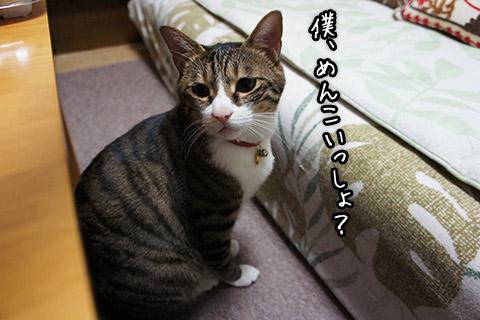 キジトラ白猫1