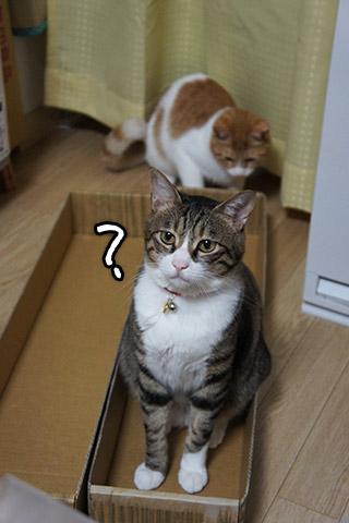 新巻鮭の箱に入る猫