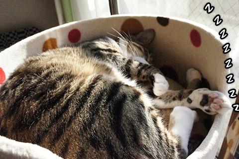 熟睡する兄ネコ