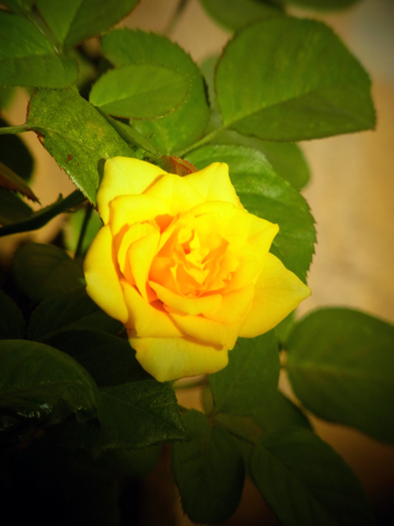 201410 cairo flower rose