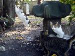 鮫洲八幡猫