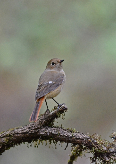 ジョウビタキ雌 1 -054