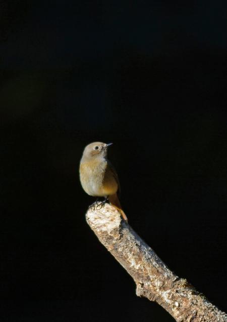 ジョウビタキ雌 2 -057