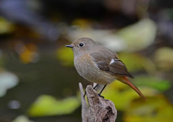ジョウビタキ雌 6 -057