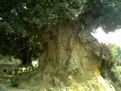 rich plum-根上がりの木