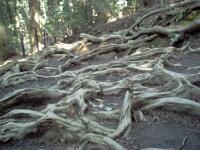 rich plum-木の根道