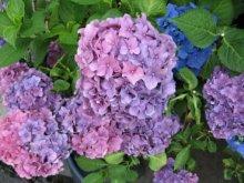 rich plum-紫陽花