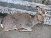 rich plum-階段を塞ぐ鹿