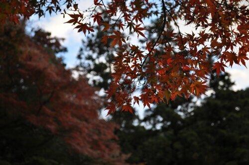 rich plum-紅葉