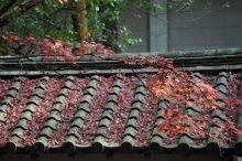 rich plum-屋根に積る紅葉