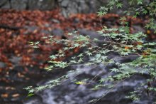 rich plum-青紅葉