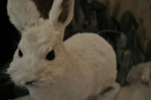 rich plum-ユキウサギの剥製