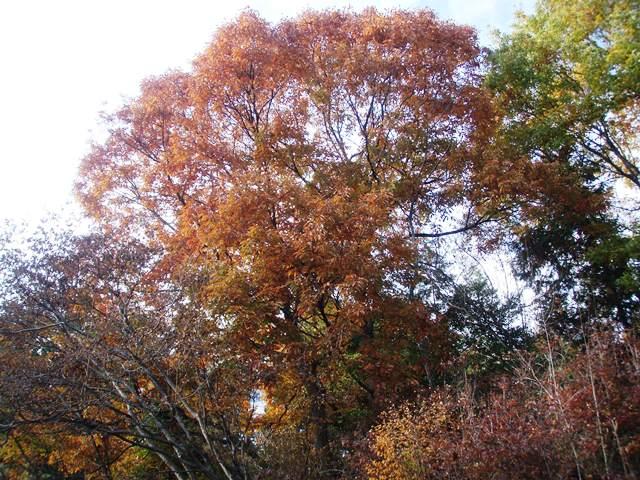 裏山のどんぐり 黄色くなってもうすぐ落葉です