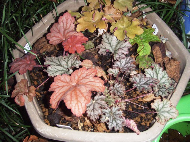 東北の花友さんからいただいたゲラちゃん、どれもなかなか渋いというか、ある面斬新な葉色です。とりあえずまとめて植えましたが、これからじっくり使い方を考えることにしましょう。