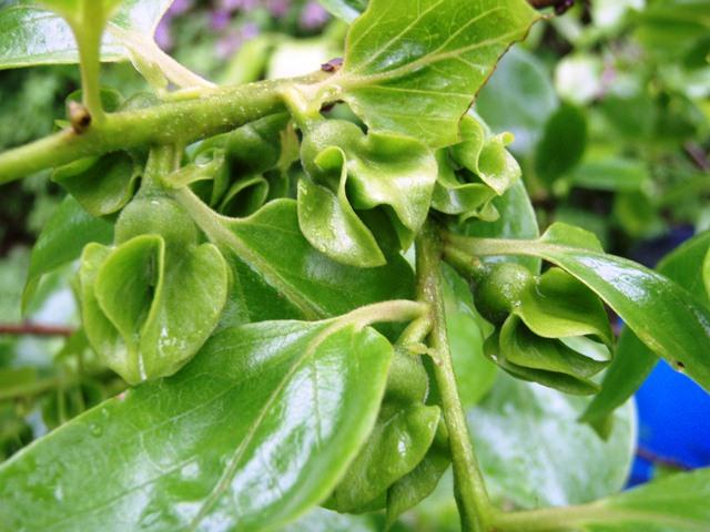 柿の花110528