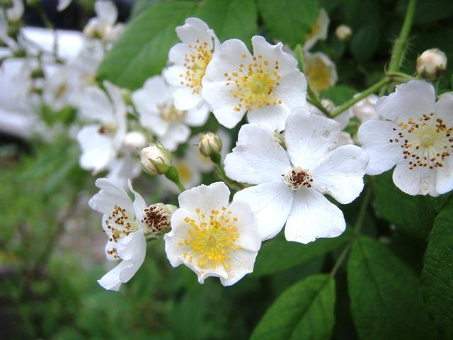 ツルミニ薔薇白110531