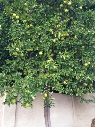 Citrus_tree1.jpg